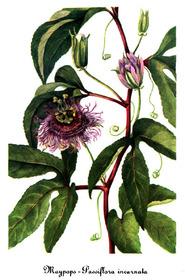 passiflora incarnata 4