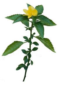 herb-damiama3